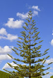 Norfolk-Insel-Kiefer Lizenzfreie Stockbilder