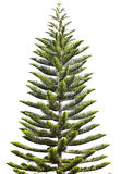 Norfolk Island Pine. (Araucaria heterophylla) isolated on white background royalty free stock image