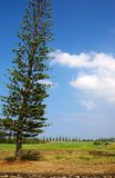 Norfolk Island Pine. The Norfolk Island Pine tree or Araucaria heterophylla is a distinctive conifer, a member of the ancient and now disjointly distributed Stock Photography