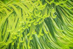 Norfolk Island pine (Araucaria heterophylla) green leaves backgr. Ound.  It's also known as star pine, triangle tree or living Christmas tree, due to its Stock Photography