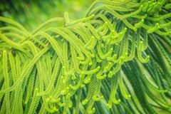 Norfolk Island pine (Araucaria heterophylla) green leaves backgr. Ound.  It's also known as star pine, triangle tree or living Christmas tree, due to its Stock Photos