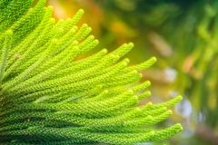 Norfolk Island pine (Araucaria heterophylla) green leaves backgr. Ound.  It's also known as star pine, triangle tree or living Christmas tree, due to its Royalty Free Stock Images