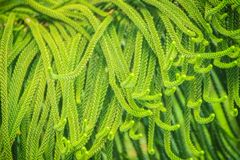 Norfolk Island pine (Araucaria heterophylla) green leaves backgr. Ound.  It's also known as star pine, triangle tree or living Christmas tree, due to its Royalty Free Stock Photo
