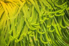 Norfolk Island pine (Araucaria heterophylla) green leaves backgr. Ound.  It's also known as star pine, triangle tree or living Christmas tree, due to its Royalty Free Stock Image