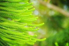 Norfolk Island pine (Araucaria heterophylla) green leaves backgr. Ound.  It's also known as star pine, triangle tree or living Christmas tree, due to its Stock Images