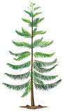 A Norfolk island pine Stock Image