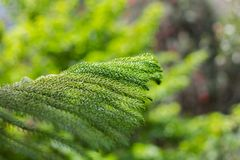 Norfolk Island Pine`s leaves Araucaria excelsa. On natural background blur Stock Photography