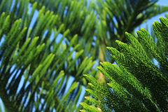Norfolk Island Pine Tree. Abstract background of Norfolk Island Pine Tree Stock Images