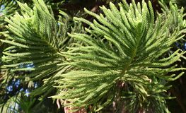 Norfolk Island Pine tree (Araucaria heterophylla) branch with leaves in Laguna Woods, California. Image shows a Norfolk Island Pine tree & &# Royalty Free Stock Photos