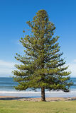 Norfolk Island pine tree growing on the seashore at Torquay surf Royalty Free Stock Photos