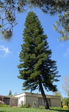 Norfolk Island Pine tree in Laguna Woods, California. Image shows a Norfolk Island Pine tree (Araucaria heterophylla) in the retirement community of Stock Images
