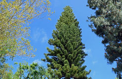 Norfolk Island Pine tree in Laguna Woods, California. Image shows a Norfolk Island Pine tree (Araucaria heterophylla) in the retirement community of Stock Photo