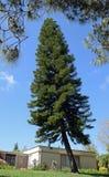 Norfolk Island Pine tree in Laguna Woods, California. Stock Images