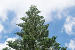 Norfolk Island Pine Tree stretching high up into the sunny blue sky with cloud Royalty Free Stock Photography