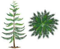 A Norfolk island plant Royalty Free Stock Image
