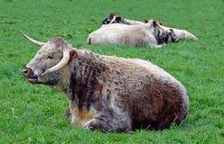 Norfolk longhorn cattle Stock Image
