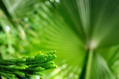Norfolk pine - araucaria heterophylla. Tree, closeup on the branches and pins stock images