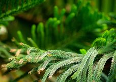 Norfolk pine - araucaria heterophylla. Tree, closeup on the branches and pins royalty free stock photos