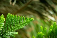 Norfolk pine - araucaria heterophylla. Tree, closeup on the branches and pins royalty free stock images