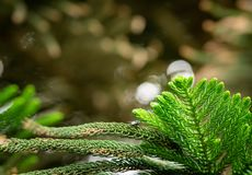 Norfolk pine - araucaria heterophylla. Tree, closeup on the branches and pins stock image