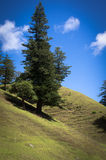 Norfolk Pine, Norfolk Island. Norfolk Island pine against the backdrop of the hills of Norfolk Island royalty free stock photography