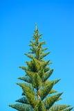 Norfolk pine Stock Image