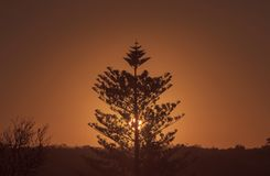 Norfolk pine sunset Stock Photography