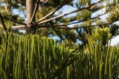 Norfolk pine tree Royalty Free Stock Photo