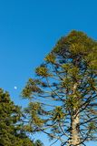 Norfolk Pine Tree. Tall Norfolk pine tree and the moon with a blue sky Royalty Free Stock Photos