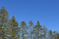 Norfolk pines image descending in size. Norfolk pines descending in size with blue sky copy space Royalty Free Stock Images