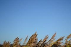Norfolk Reed debajo del cielo azul Imágenes de archivo libres de regalías