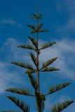 Norfolk sörjer trädet Arkivbild