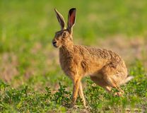 Norfolk`s wild hare beautiful close up in early morning sunrise. Royalty Free Stock Photos