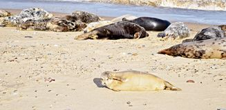 Norfolk seal rookery lying on the beach and closes his eys from the sun stock photos