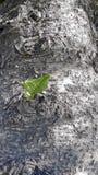 Norfolk sosny Korowaty i Zielony Leves Obrazy Royalty Free