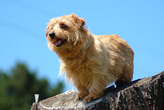 norfolk terrier Arkivbilder