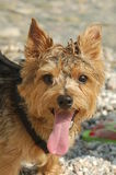 norfolk terrier Arkivfoton