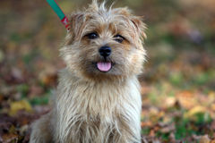 norfolk terrier arkivfoto