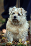 norfolk terrier royaltyfri foto