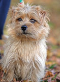 norfolk terrier royaltyfri fotografi