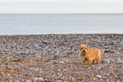 Norfolk terrier on the beach.  royalty free stock image