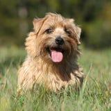 Norfolk-Terrier, der an Ihnen lächelt stockbild