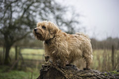 Norfolk Terrier on a fallen tree. Misty background. UK royalty free stock photos