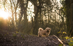 Norfolk Terrier. In Gloucestershire scene. UK royalty free stock images
