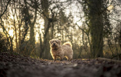 Norfolk Terrier. In Gloucestershire scene. UK royalty free stock photo