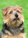 Norfolk terrier on a green grass lawn Stock Images