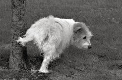 Norfolk Terrier. Pee on a tree in the park. (BW royalty free stock photo