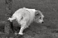 Norfolk Terrier Royalty Free Stock Photo