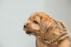 Norfolk Terrier puppy. Puppy Norfolk Terrier on a gray background stock photography
