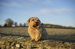 Norfolk Terrier Stock Photography